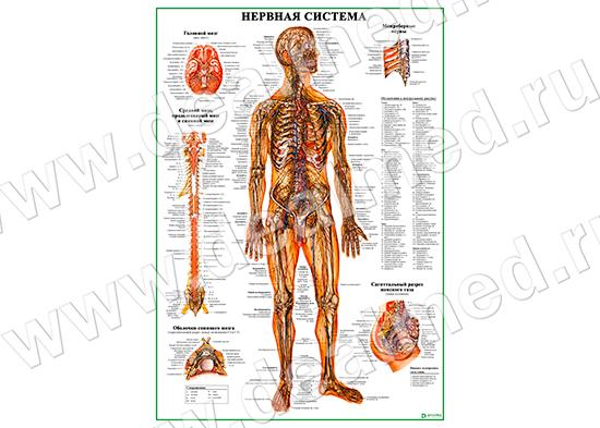 Система Нервная