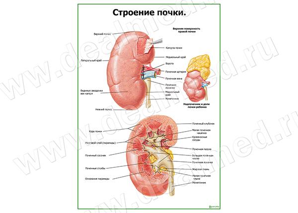 схема строения мочеполовой системы у мужчин